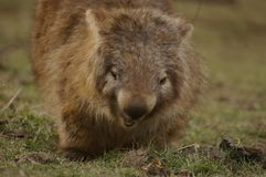 Wild native marsupial wombat eating green grass. On a farm in rural New South Wales near Nundle, Hanging Rock stock images