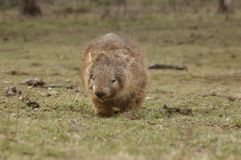 Wild native marsupial wombat eating green grass. On a farm in rural New South Wales near Nundle, Hanging Rock stock photo