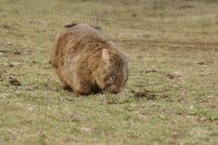 Wild native marsupial wombat eating green grass. On a farm in rural New South Wales near Nundle, Hanging Rock stock image