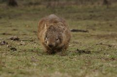 Wild native marsupial wombat eating green grass. On a farm in rural New South Wales near Nundle, Hanging Rock royalty free stock photography