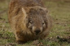 Wild native marsupial wombat eating green grass. On a farm in rural New South Wales near Nundle, Hanging Rock royalty free stock photo