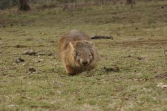Wild native marsupial wombat eating green grass. On a farm in rural New South Wales near Nundle, Hanging Rock royalty free stock photos