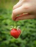 Wild Natural Red Strawberries, Strawberry in Child's Hand Finger Royalty Free Stock Images