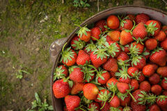 Wild Natural Red Strawberries, Strawberry in Iron Pot on Royalty Free Stock Photo