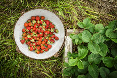 Wild Natural Red Strawberries, Strawberry in Rustic Iron Enamel Stock Photo