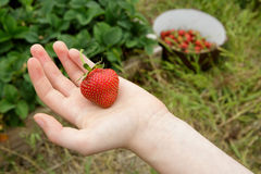 Wild Natural Red Strawberry in Child's Hand with G Stock Photography