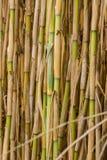 Wild natural sugar canes at Corfu Greece Royalty Free Stock Image