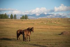 Wild nature of the Altai. A beautiful horses is grazing in the s stock photography