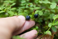 Wild nature antioxidant blueberry bush, bilberry bunch royalty free stock images