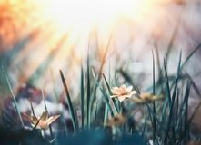 Wild nature background with grass, flowers and sun. Rays stock image