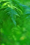 Green frond close-up in sunny forest. Wild nature - Beauty  fern close-up in sunny forest Stock Photos