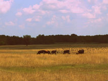 Wild nature. Wild cattle herd in Hortobágy National Park in Hungary Royalty Free Stock Photos