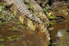 Wild nature in Costa Rica and Crocodile tale. Exploring jungle in costa rica central america. Wild nature Stock Photo