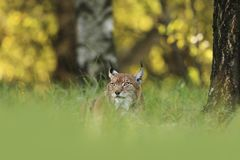 Lynx lynx. Wild nature of Czech. Autumn nature. The wild nature of Europe. Beautiful nature of Czech. Photo was taken in the Czech Republic. Occurrence is in Royalty Free Stock Image