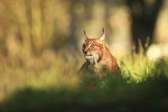 Lynx lynx. Wild nature of Czech. Autumn nature. The wild nature of Europe. Beautiful nature of Czech. Photo was taken in the Czech Republic. Occurrence is in Stock Photo