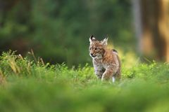 Lynx lynx. Wild nature of Czech. Autumn nature. The wild nature of Europe. Beautiful nature of Czech. Photo was taken in the Czech Republic. Occurrence is in Royalty Free Stock Photography