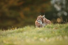 Lynx lynx. Wild nature of Czech. Autumn nature. The wild nature of Europe. Beautiful nature of Czech. Photo was taken in the Czech Republic. Occurrence is in Stock Photography