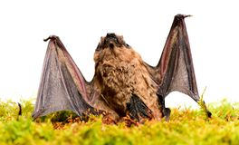 Wild nature. Forelimbs adapted as wings. Mammals naturally capable of true and sustained flight. Bat emit ultrasonic. Sound to produce echo. Bat detector. Ugly stock photography