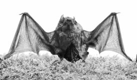 Wild nature. Forelimbs adapted as wings. Mammals naturally capable of true and sustained flight. Bat emit ultrasonic. Sound to produce echo. Bat detector. Dummy stock photos