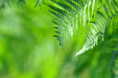 Green  Fern close-up in sunny forest Stock Photos