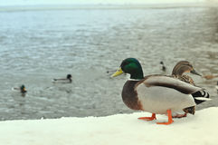 Wild nature life, feeding ducks, walking in winter park concept. Two wild mallard ducks standing on pier covered with snow near ri Royalty Free Stock Photo
