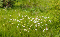 Wild nature with oxeye daisies in bloom Royalty Free Stock Images