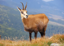 Wild nature in Slovakia, Chamois Royalty Free Stock Photo