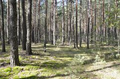 Wild nature in summer. Pine forest. Wild nature in summer. Forest thicket. Pine forest. Northen Ukraine stock photography