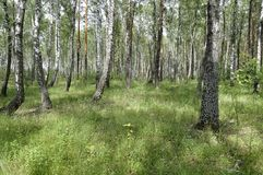 Wild nature in summer. Forest. Thicket Stock Photos