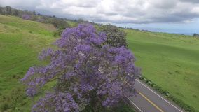 Wild nature violet lilac purple blossom jacaranda tree blooming on green field in Kula pastures Maui island Hawaii in 4k stock video footage