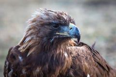 Wild nature of Western Siberia, golden eagle close-up. Golden Eagle close-up. Wild nature of Western Siberia Russia Royalty Free Stock Photos