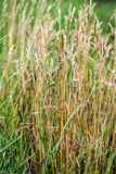 Wild Needle Grass, Nassella tenuissima Royalty Free Stock Image