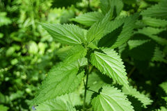 Wild nettle Stock Images
