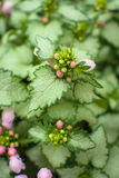 Wild nettle Royalty Free Stock Images