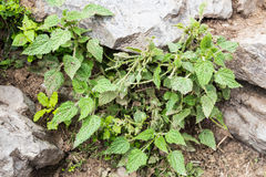 Wild Nettle plant is abundant along the hiking trek to Annapurna Nepal.  Stinging pain if contacted Stock Images