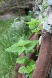 Wild nettle and rusty wheel Stock Images
