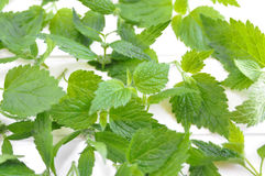Wild Nettle - Urtica dioica Royalty Free Stock Photo