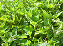 Wild nettles growing Royalty Free Stock Photo