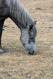New Forest Horse. A wild new forest horse grazing on dried out grass royalty free stock photography