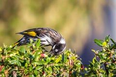 Wild New Holland Honeyeater in a Bush, Sunbury, Victoria, Australia, February 2019. Noisy native Australian wildlife, New Holland Honeyeater in a Bush, Sunbury stock photo