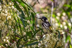 Wild New Holland Honeyeater perched in a Flowering Acacia Tree, Sunbury, Victoria, Australia, February 2019 stock photography