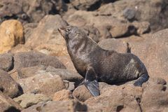 New Zealand fur seal. Wild New Zealand fur seal posing on a rocky coast in Otago peninsula, New Zealand stock image