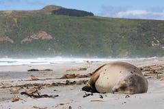 Wild New Zealand, or Hookers, Sea Lion Phocarctos hookeri sleeping on Allans Beach, Otago Peninsula, New Zealand. This is the world`s rarest sea lion species Stock Photos