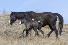 Wild newborn colt in mother in the plains. Newborn fold and mother walking in the plains Stock Photo