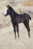 Wild newborn colt in roosevelt national park. Newborn colt standing for first time Royalty Free Stock Photo