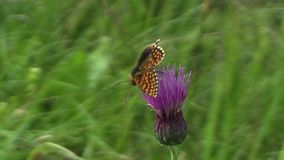 Wild Nickerl`s fritillary Melitaea aurelia, butterfly sucking nectar from a flower, the UNESCO Bile Karpaty stock video