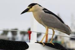 Wild Night Heron. A wild night heron bird Royalty Free Stock Images