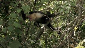 Wild, non-captive White Faced monkey. Shot in a Costa Rica rainforest stock video