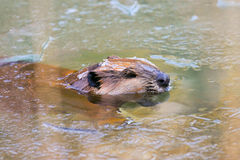 Wild North American Beaver in Ice Pond. North American Beaver Breaks Thru Pond Ice With Head To Make A Breathing Hole.  Ice is sitting on the Beaver's Head Royalty Free Stock Photography