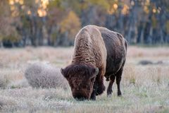 Wild North American Bison. Wild American Bison on the high plains of Colorado Royalty Free Stock Photography